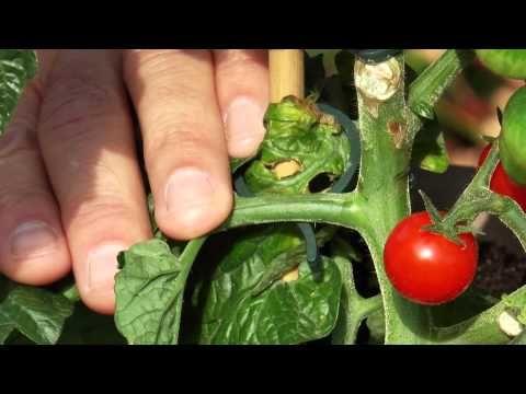 tomaten ausgeizen so wirds gemacht gartentipps. Black Bedroom Furniture Sets. Home Design Ideas