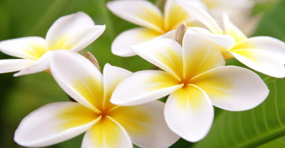 Tropical Island Flowers: Plumeria Flowers, Big Island, Hawaii