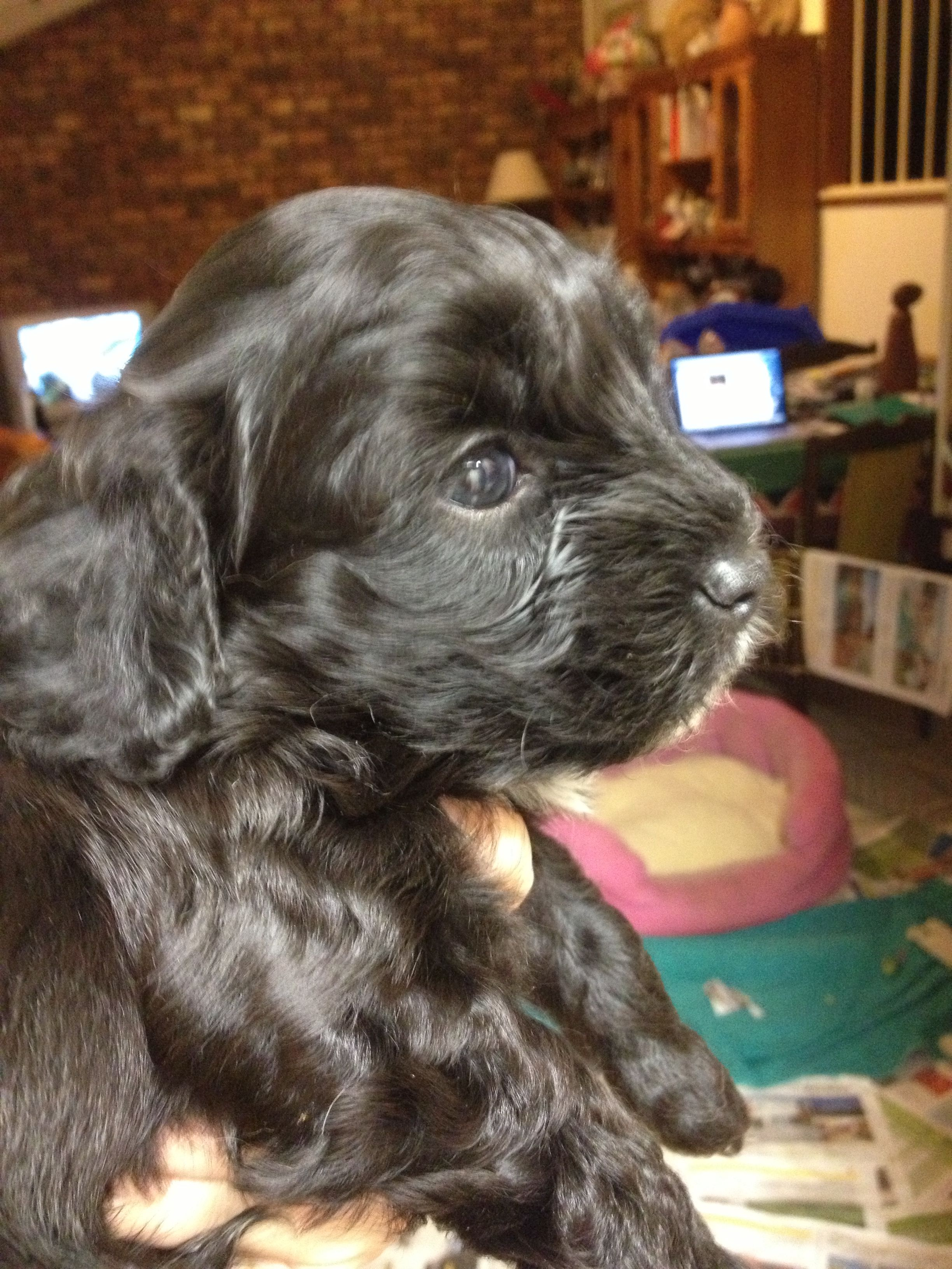 Cavoodle puppy 4 weeks old. Cavapoo puppies, Puppies, Pets