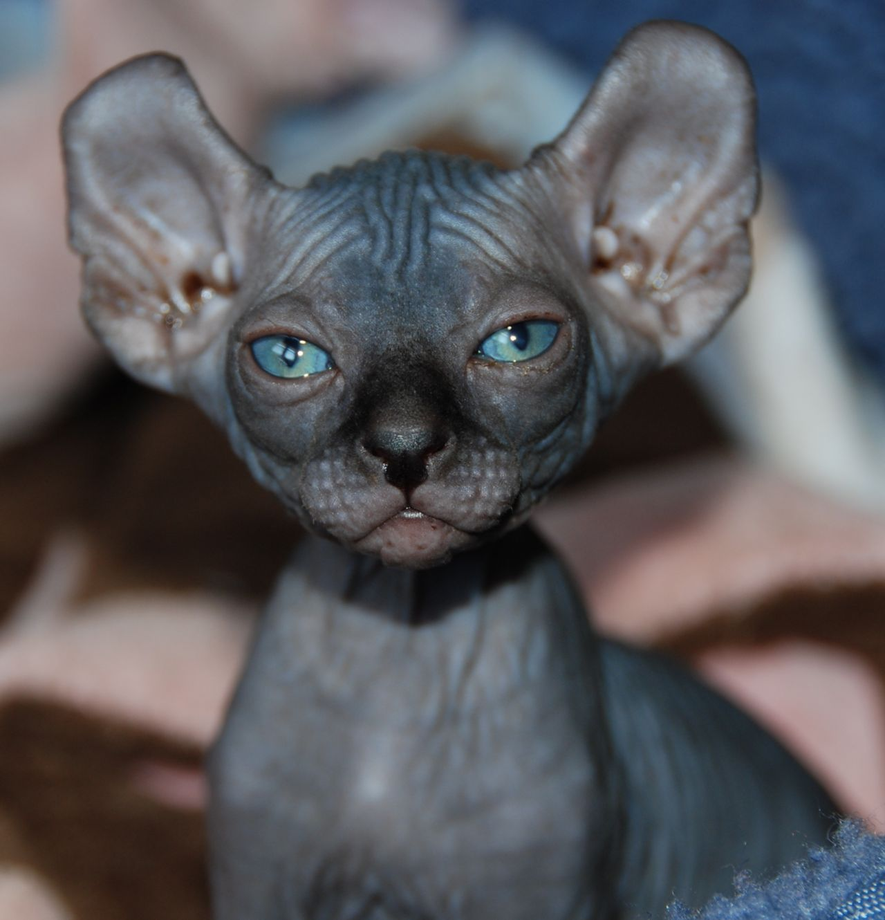 How Much Does A Sphynx Elf Kitten Cost My Sphynx Breeding Cats Are 53d1f783d3067 Jpg 1280 1330 Elf Cat Rare Cats Hairless Cat