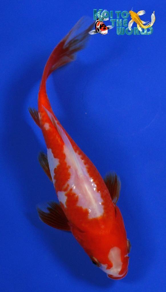 Goldfish - Unique pattern on this Comet | Pondfish Dream