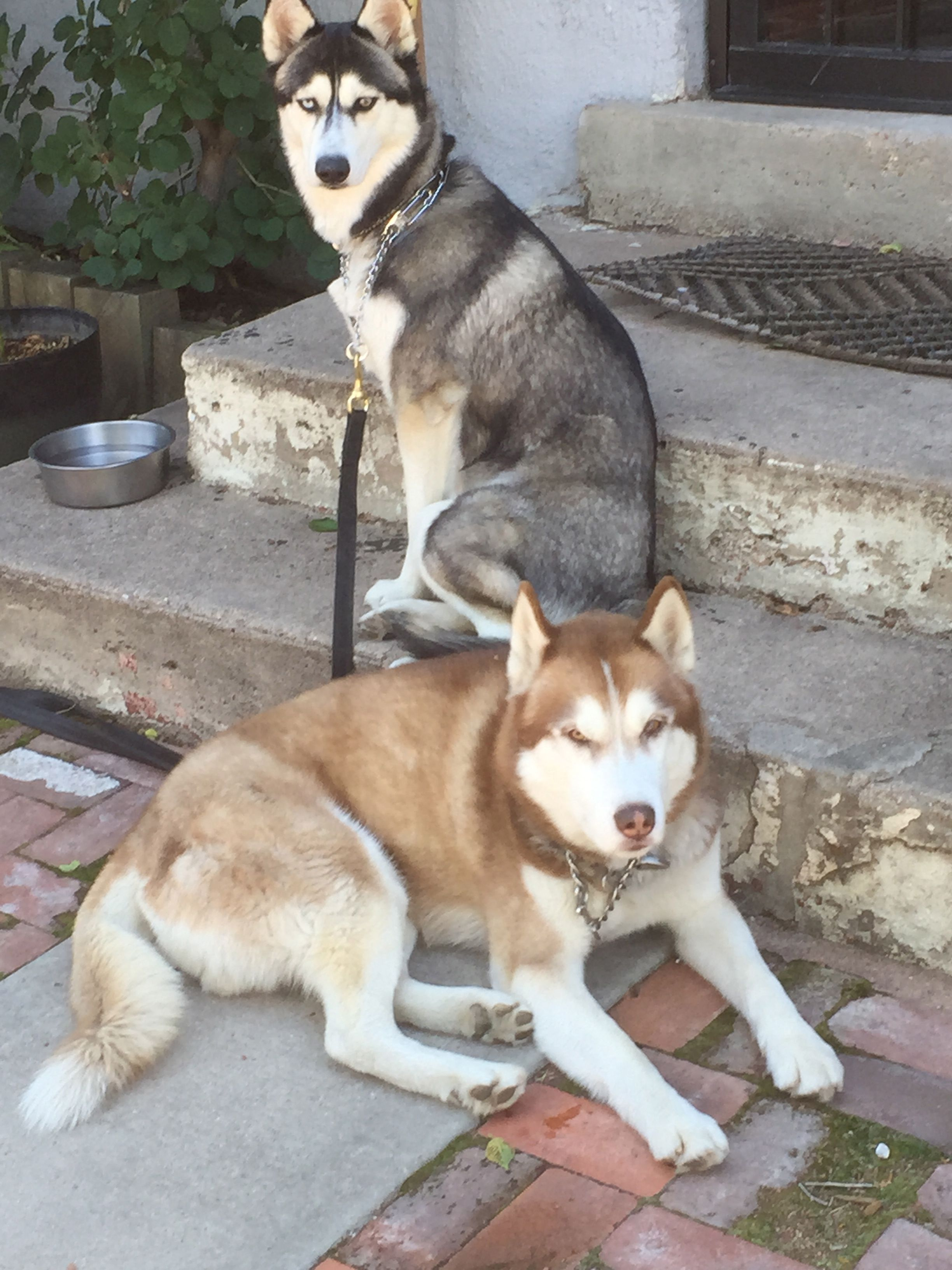 Our Sweet Jorunn And Gnarvik Norwegian Siberian Huskies Denver