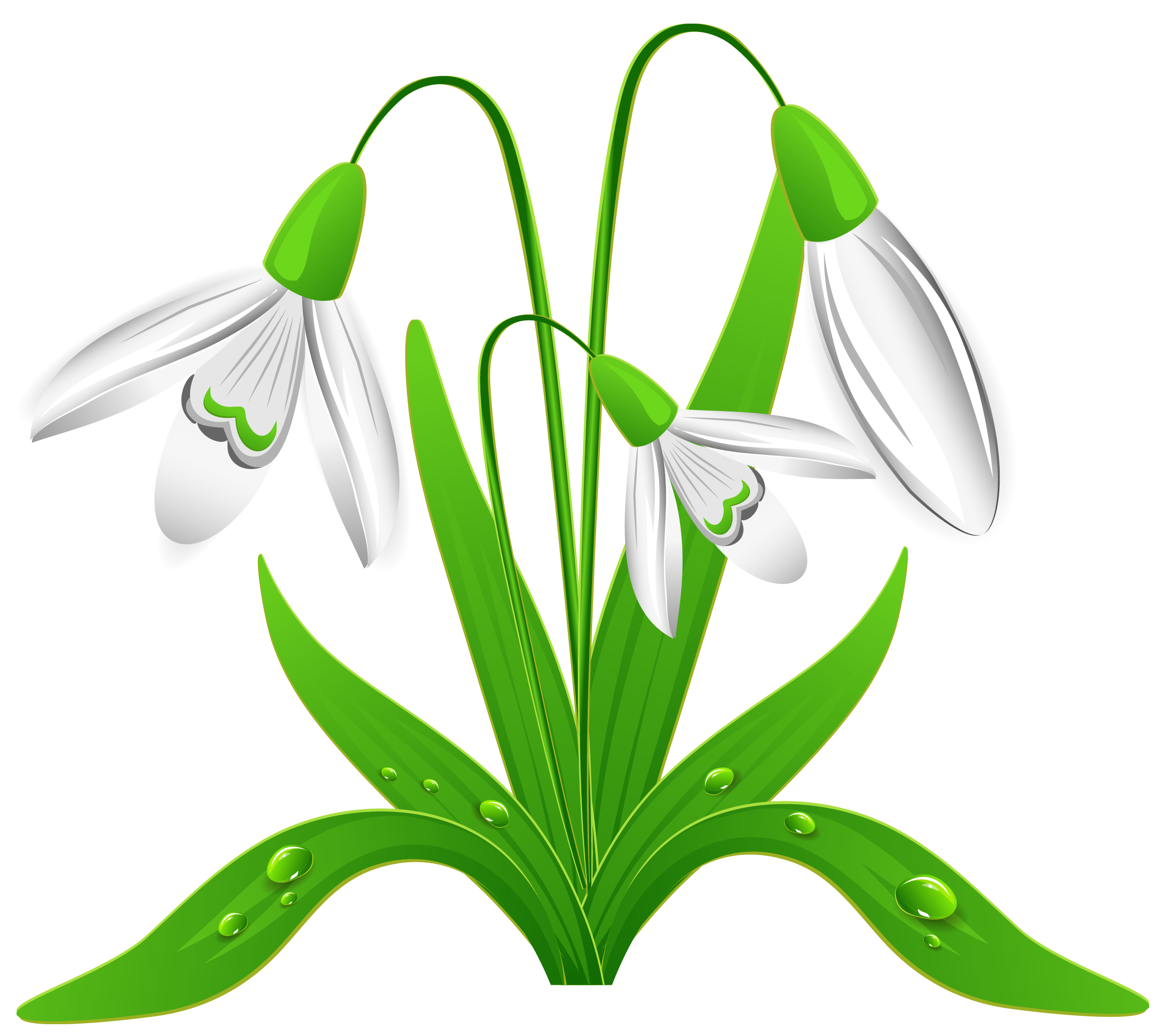 spring snowdrops png clipart picture png 2365 2105 pflanzen