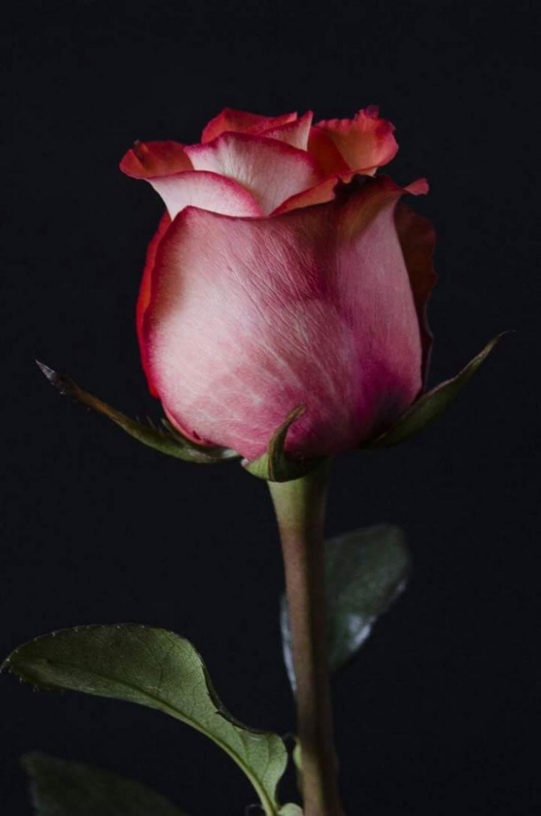 A Rose By Any Other Name Would Be Just As Sweet Unusual Flowers Beautiful Roses Botanical Flowers