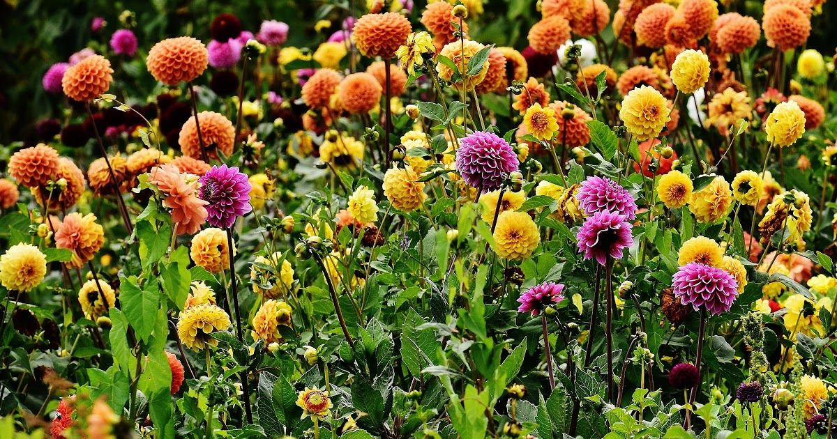 Tanaman Bunga Yang Bagus Untuk Taman