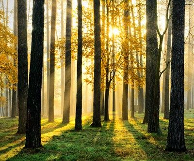 Morning forest sun rays Wall Art from Next Wall Stickers | tree ...