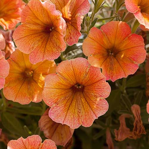 Petunia Indian Summer Apricot Shades X 12 Petunias Garden Items Orange Flowers