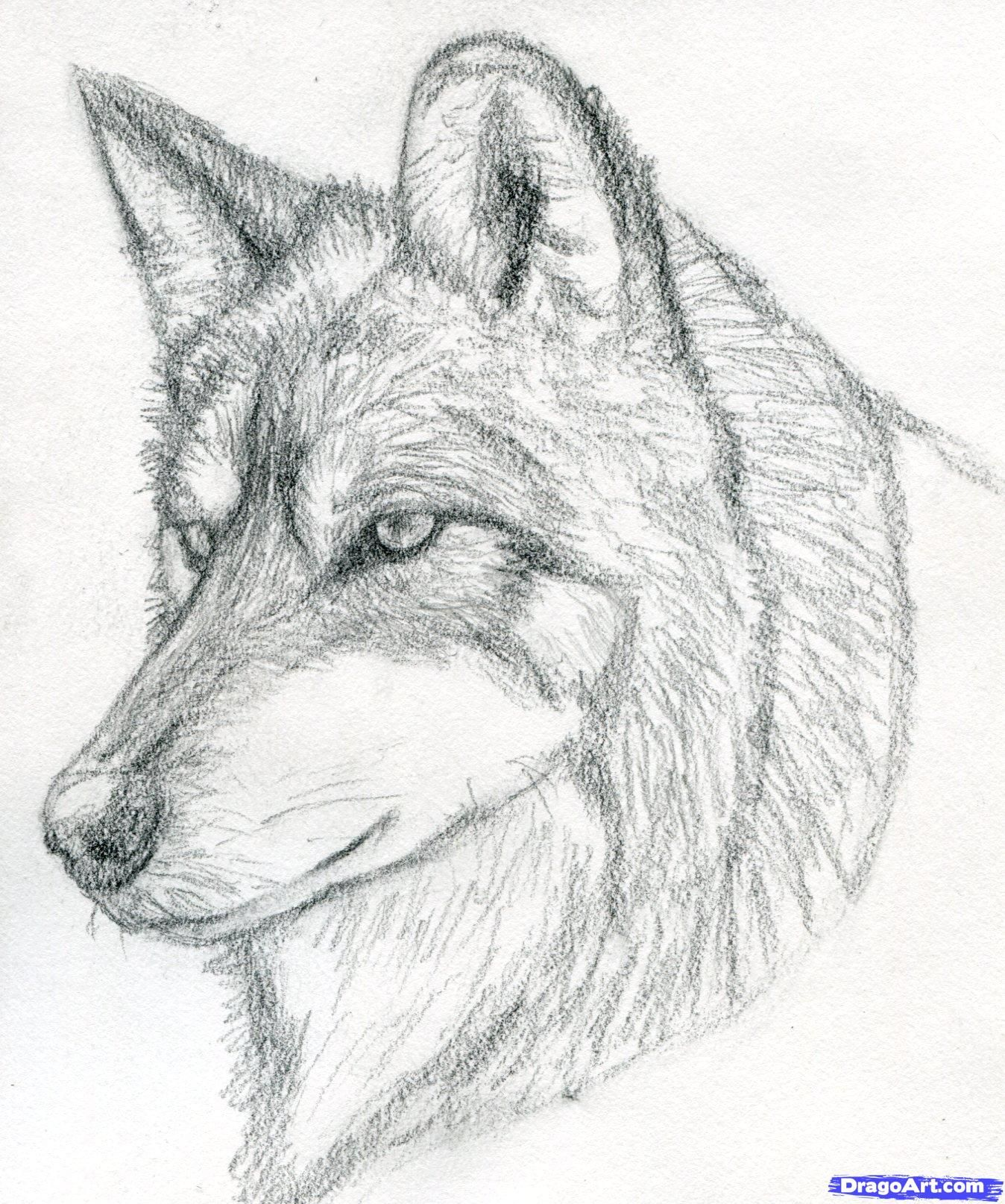 how to draw a wolf head, mexican wolf step 7 | Wolf sketch ...