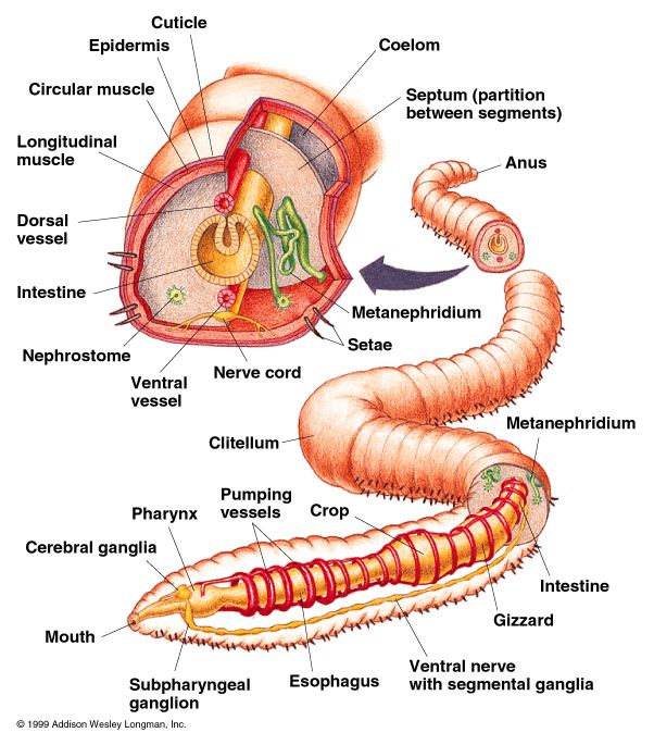 Annelida Diagram Phylum Annelida Pinterest Diagram And Zoology