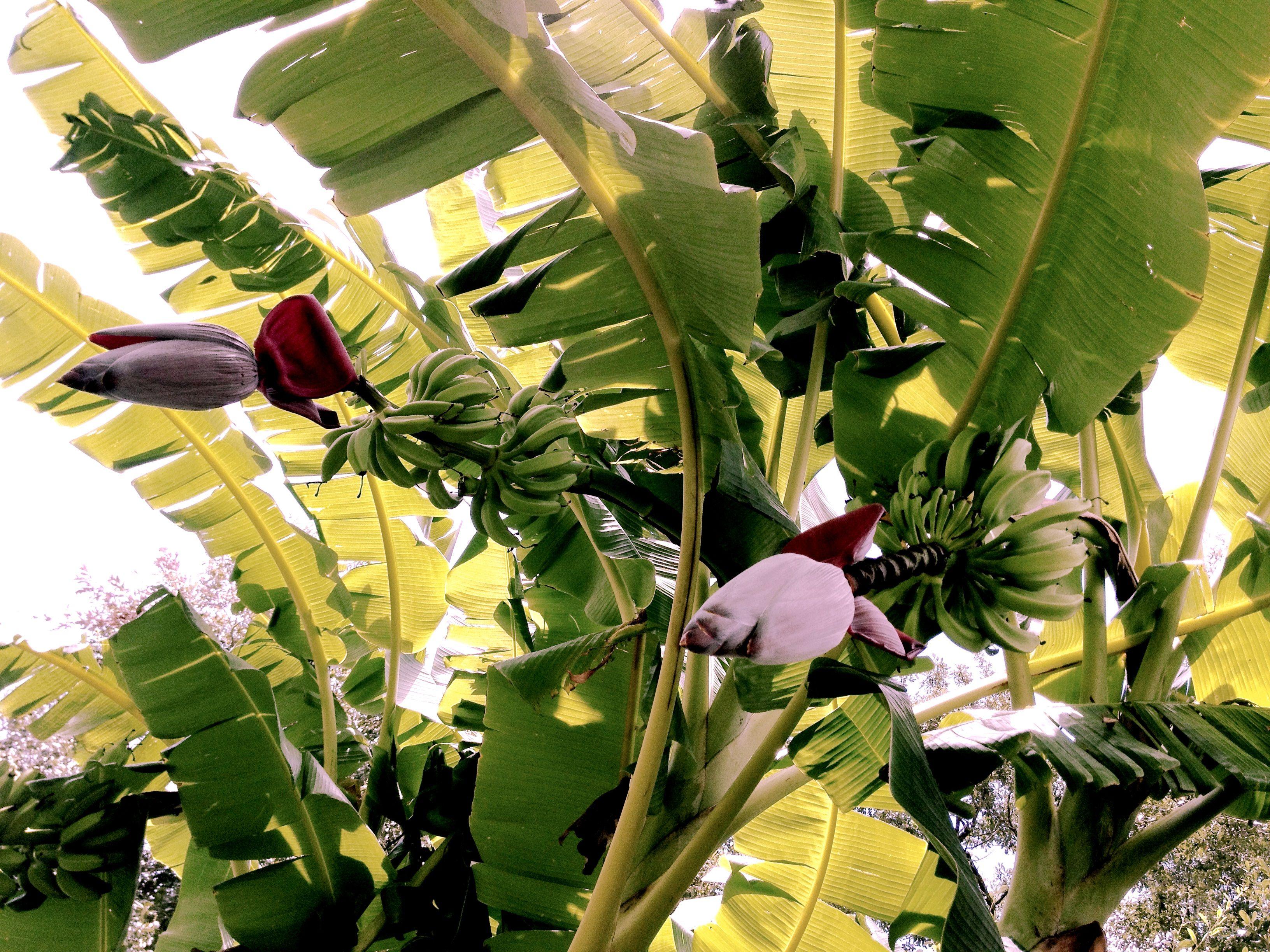 Bananas in organic garden in Lafayette, Louisiana.