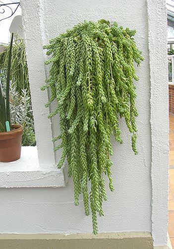 Sedum Morgananium Serre Des Regions Arides Jardin Botanique