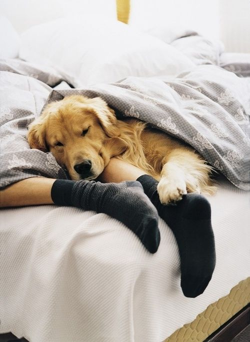Resultado de imagen para golden retriever sleeping with owner