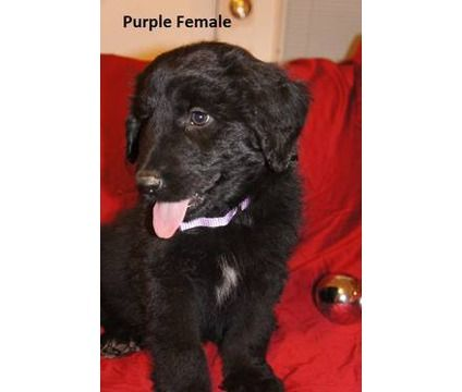 This May Be My Next Dog But Not For A Few Year A Germandoodle