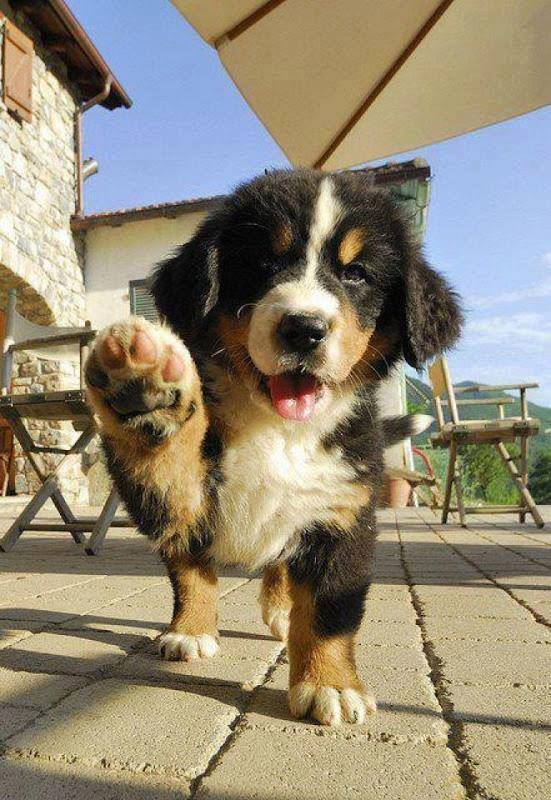 19 Bernese Mountain Puppies Who Just Want To Make Your Day Better Puppies Cute Animals Cute Dogs
