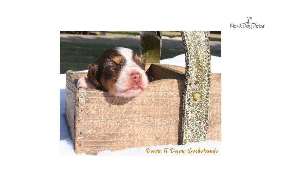 Dillon Male Dachshund For Sale In 2020 Dachshund Puppies For Sale Puppy List Dachshunds For Sale