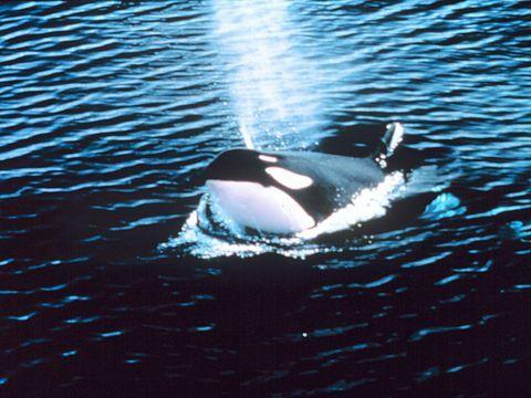 Assez Mammifère marin — Wikipédia | Mammifères marins (marin Mammals  JC63
