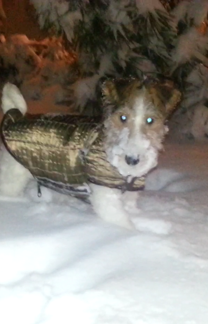 Fox terrier Leeloo: My first everything - coat, snow, winter...