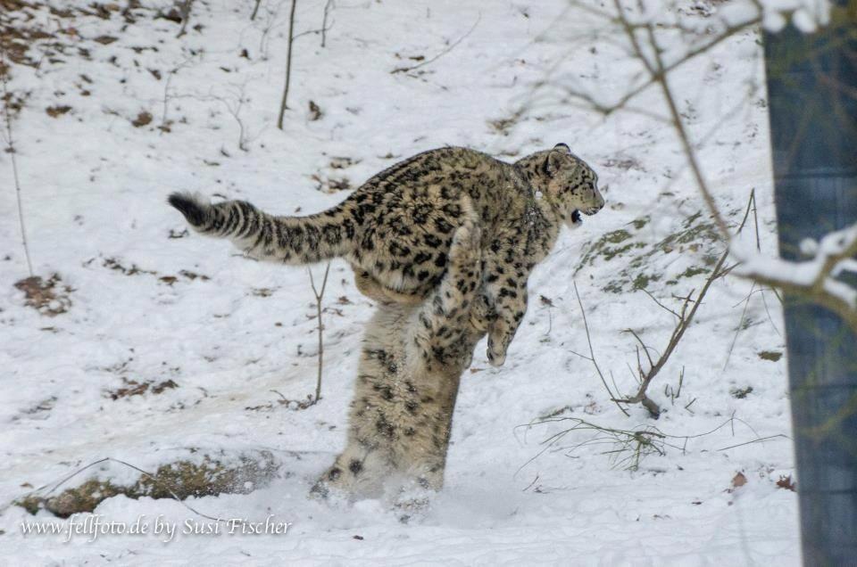 Snow leopards wrestling