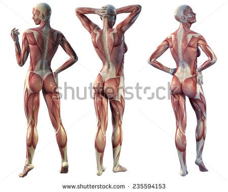 muscle woman back view on a white background | Anatomia Humana F y M ...