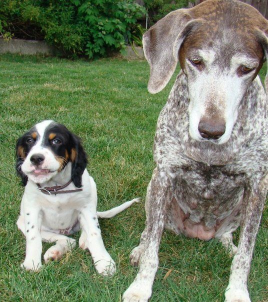 My two bugs. English setter and German Shorthaired Pointer