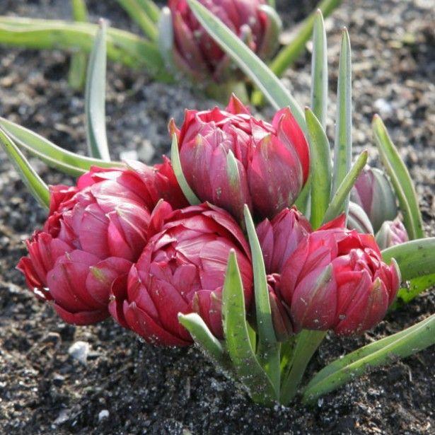Tulipe+Botanique+humilis+Tête+à+Tête | Tulipe, Bulbes de ...