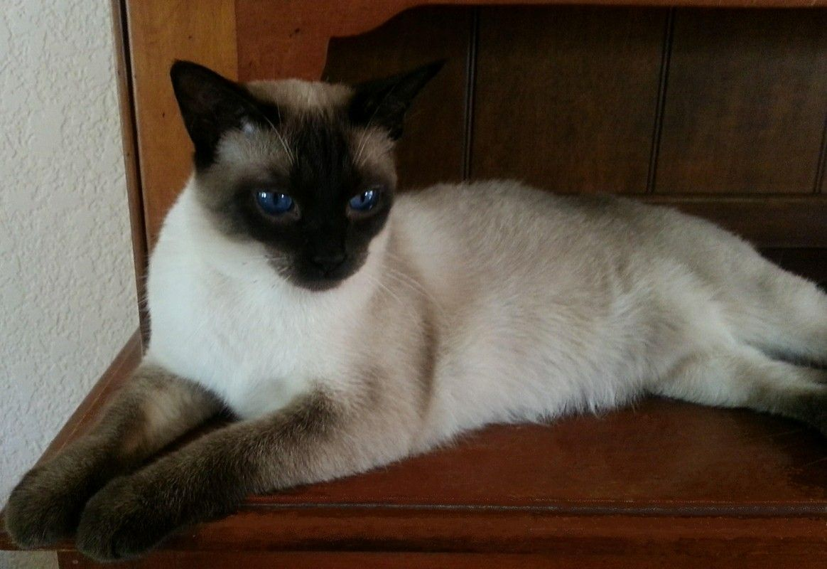 Pin by Suzanne Gray on Cat Siamese cats blue point