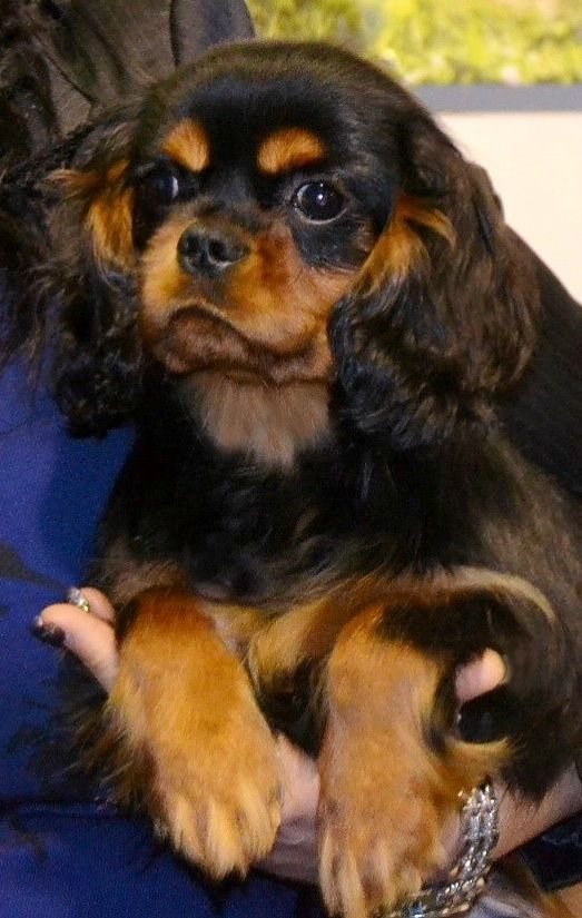 Lovely Black and Tan Cavalier puppy