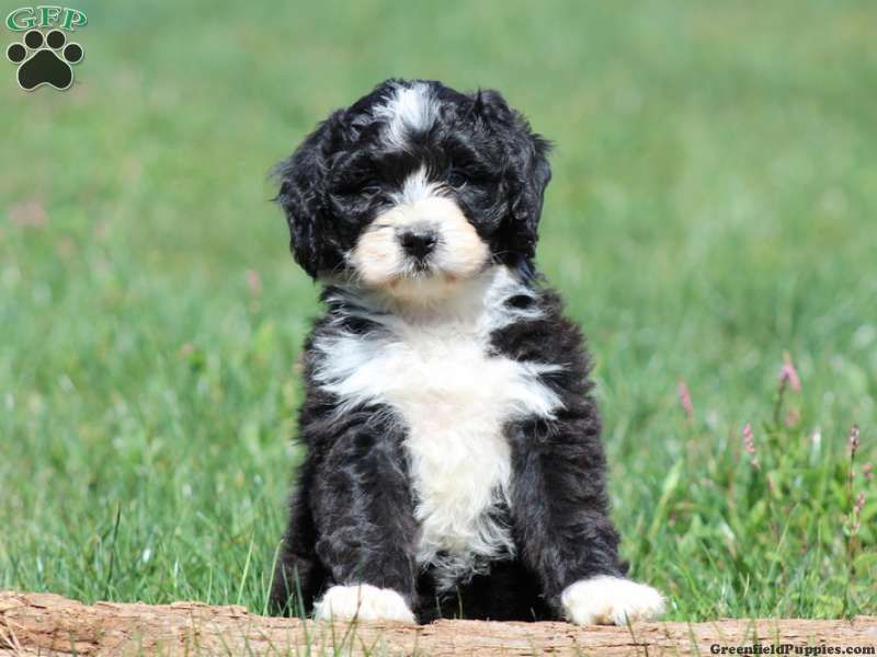 Cassie Bernedoodle Miniature Puppy For Sale In
