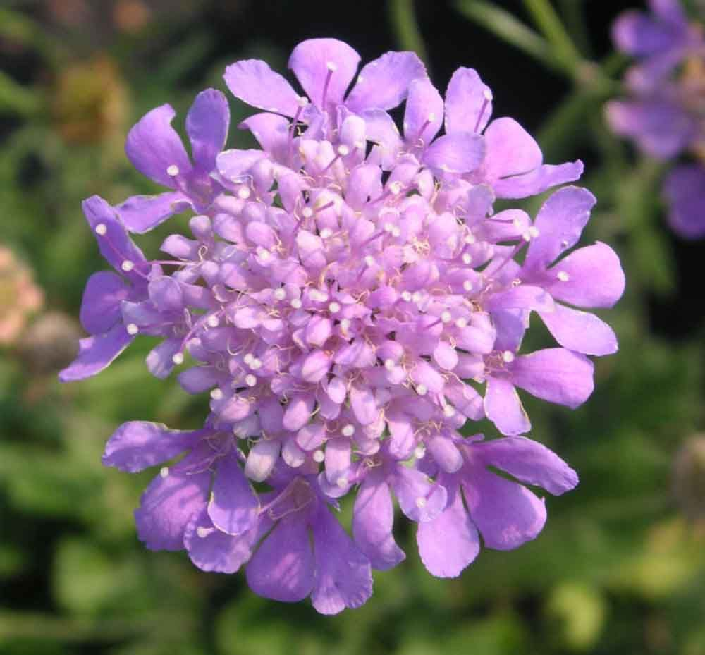 Butterfly blue pincushion flower this easy care clump forming butterfly blue pincushion flower this easy care clump forming perennial produces a profusion izmirmasajfo Gallery