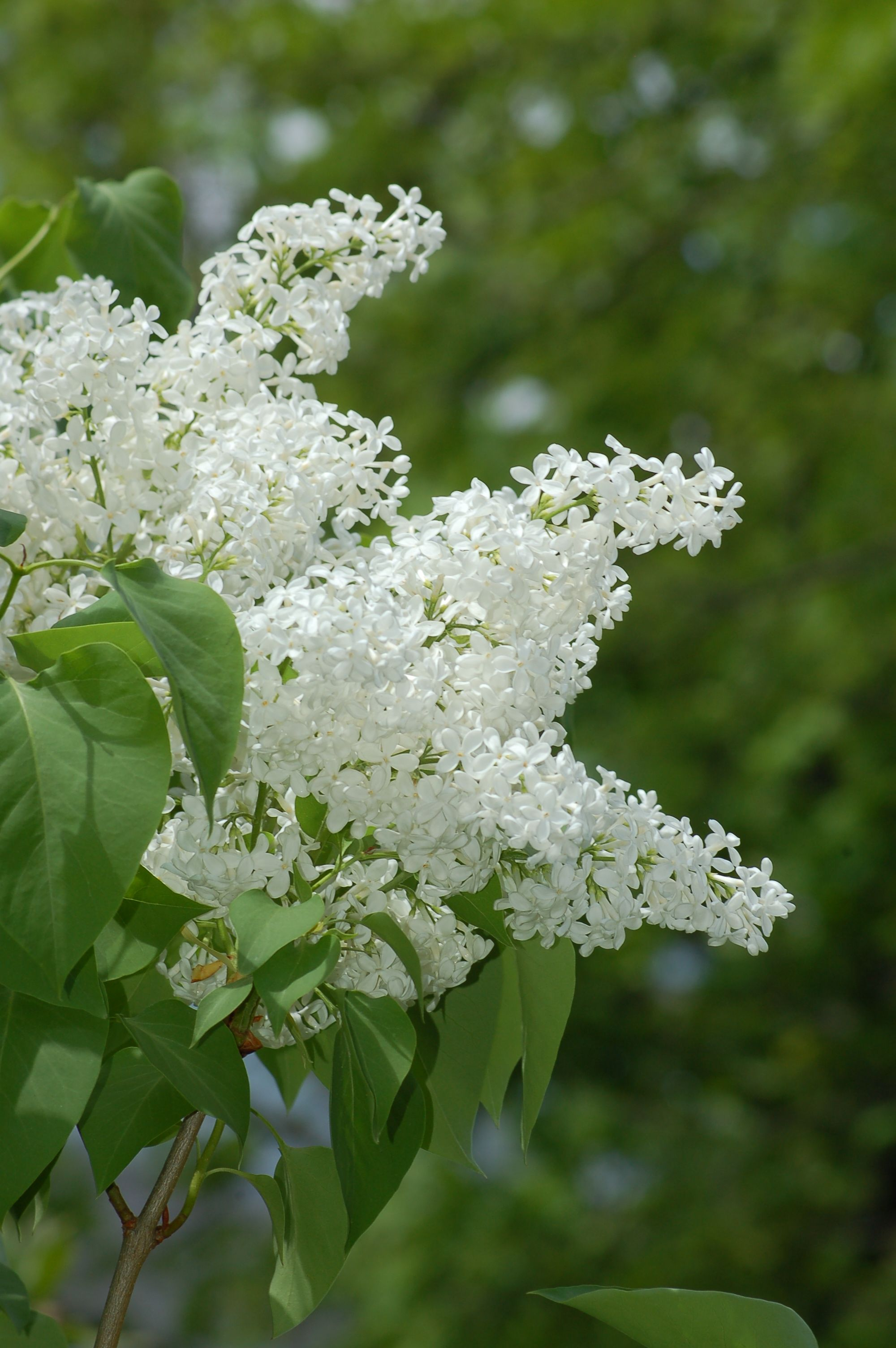 10 Best Shrubs With White Flowers Grow Bigger Plants Gardening