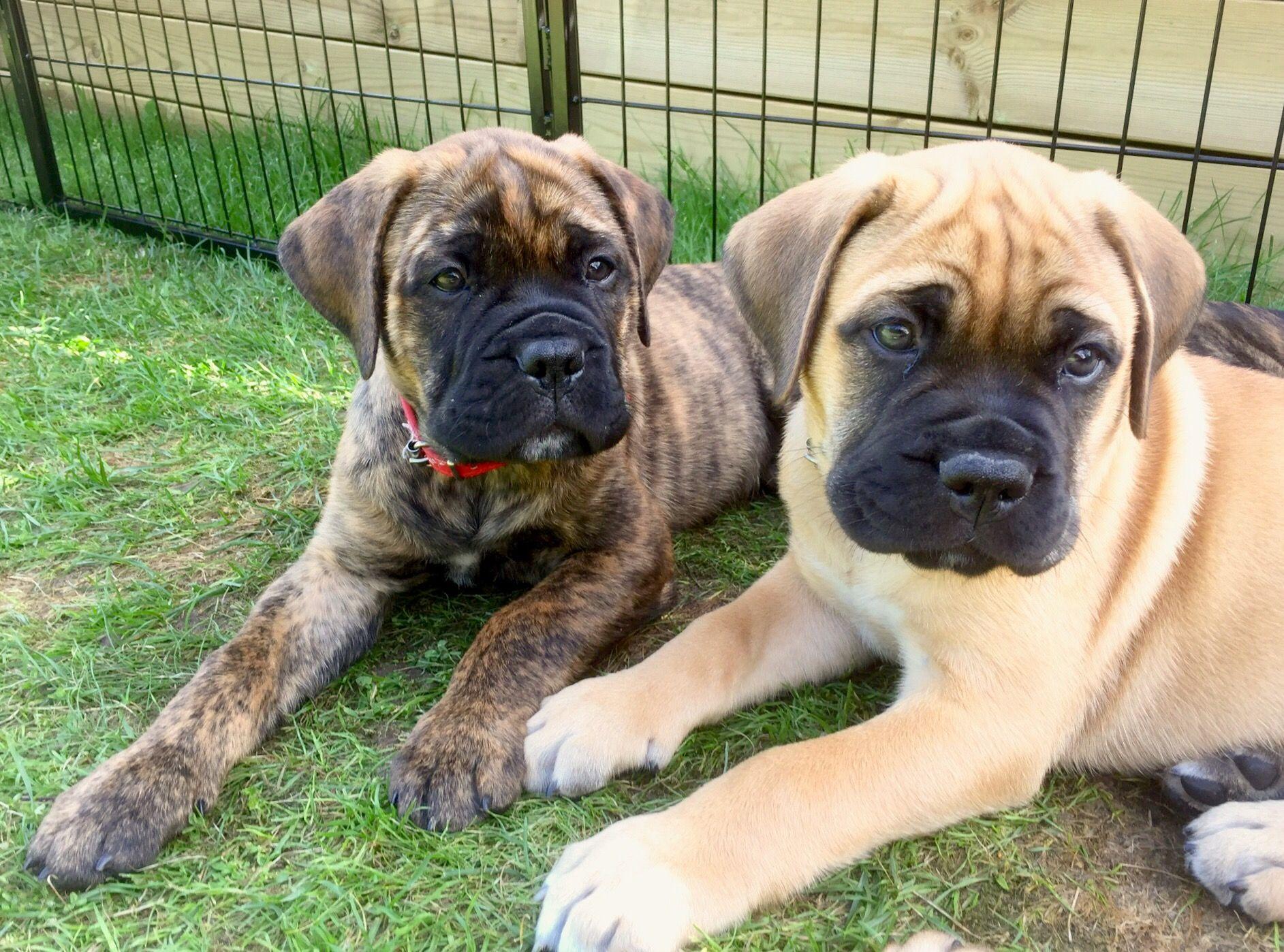 Bullmastiff Puppies Dogs
