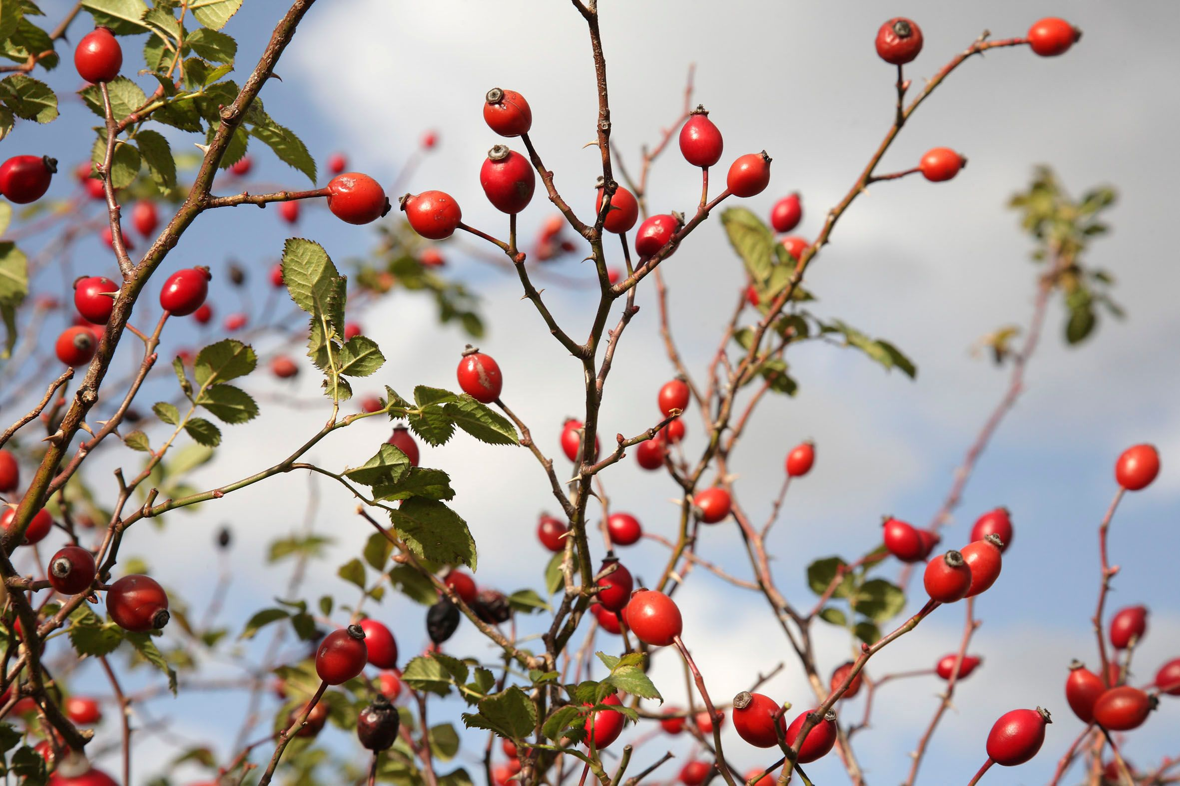 Image result for potted rosehip plant pic