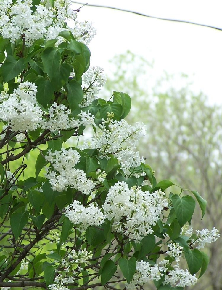 Old Fashioned White Lilac Garden Frogs White Gardens Lilac Bushes