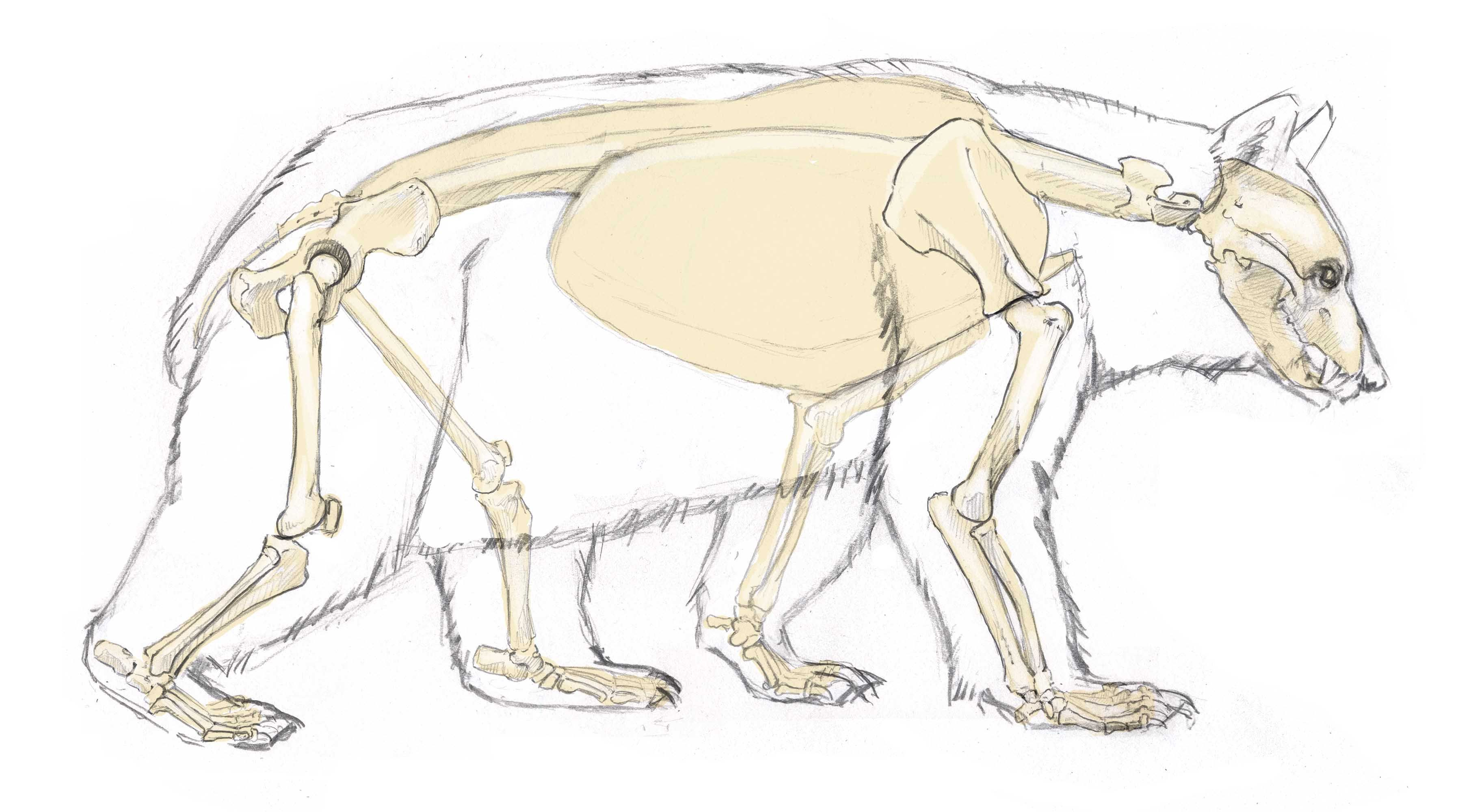 bear anatomy - Google Search | Animals | Pinterest | Anatomy ...