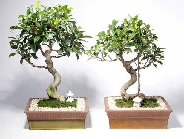 Miniature Ficus Trees Google Search