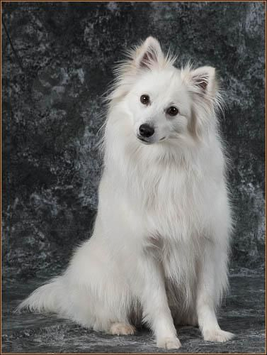 Adopt Jack On Petfinder Spitz Dogs Dogs Animal Welfare League