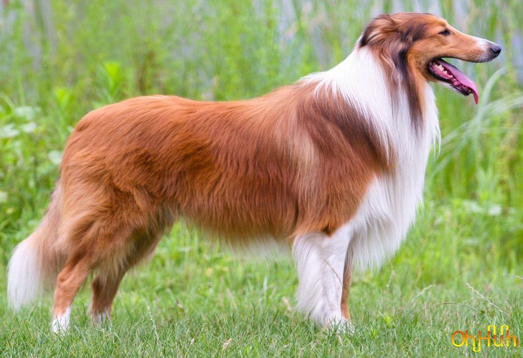 Rough Collie Dog Breeds Rough Collie Collie