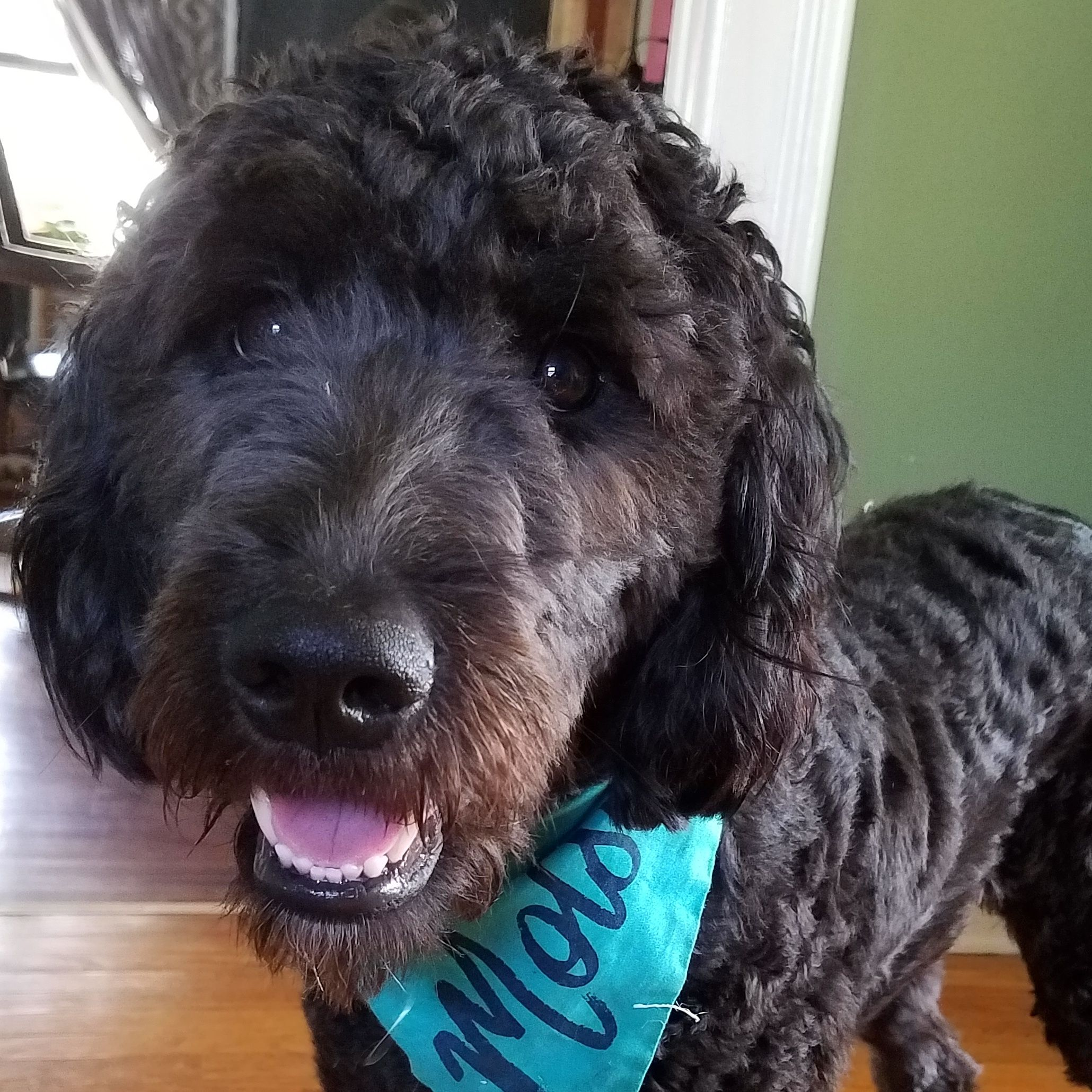 My Black F1 Goldendoodle Molson Goldendoodle Doggy Doodles