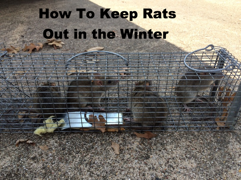 How To Keep Rats Out During The Winter With Images Rodent Control Rats Raccoon Removal