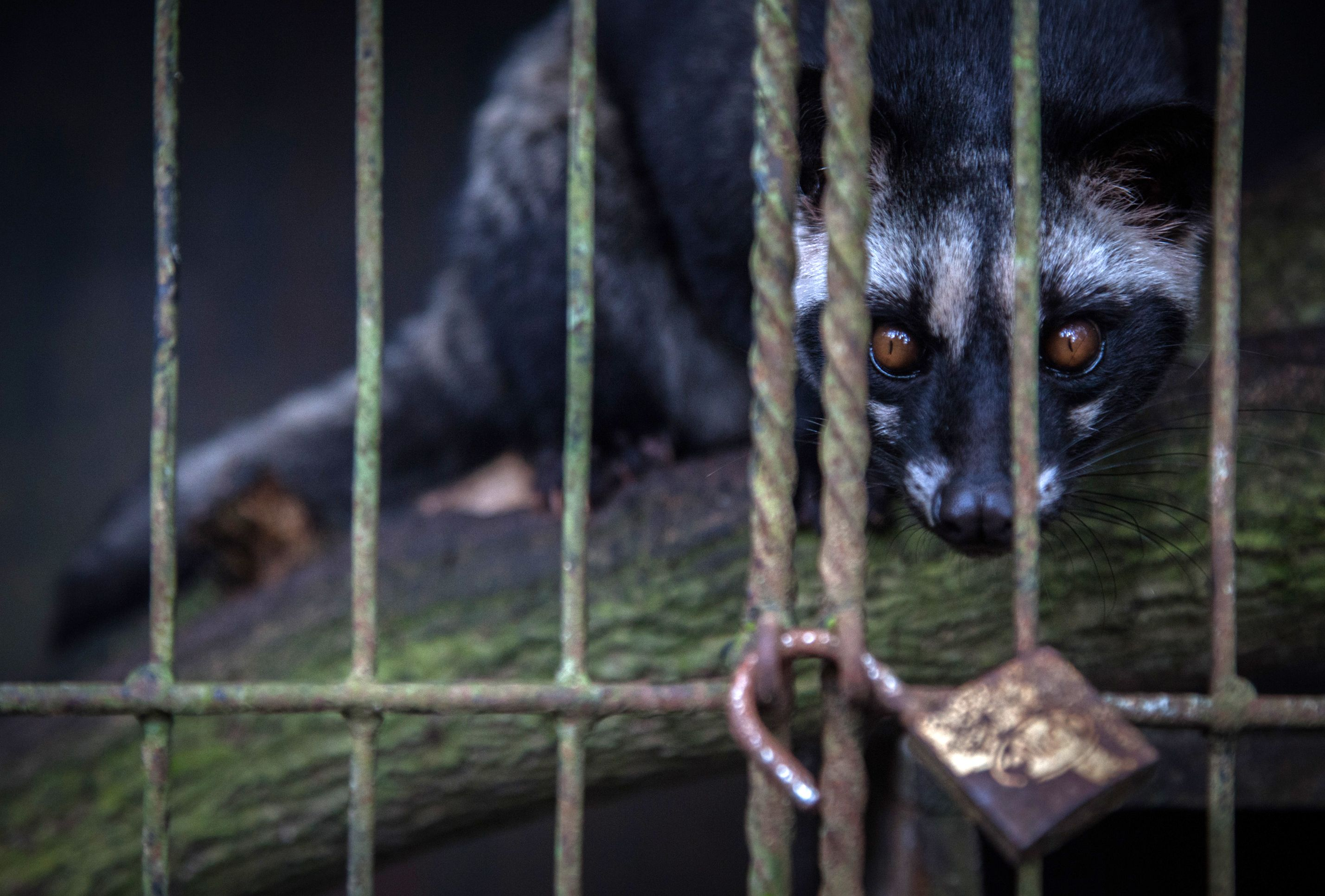 Sustainable Agriculture Network bans caged civets on its