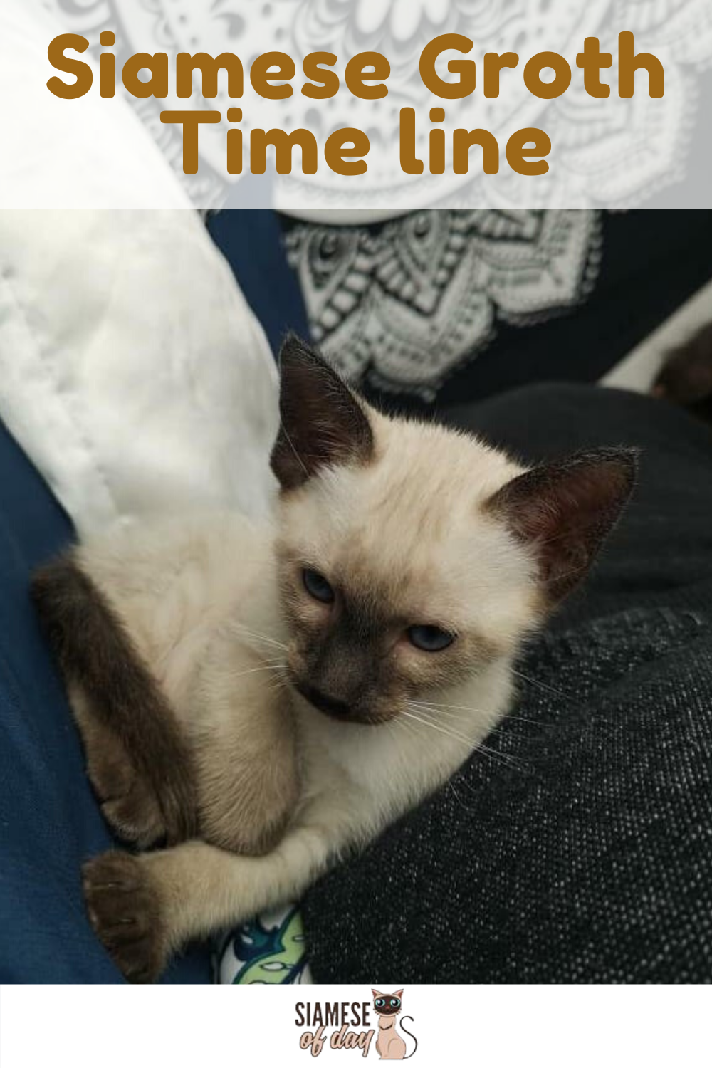 Siamese Kittens Growth Timeline Siamese Of Day In 2020 Siamese Kittens Kittens Funny Baby Cats