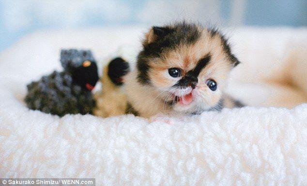 Is this the world's cutest kitten? Memebon the short