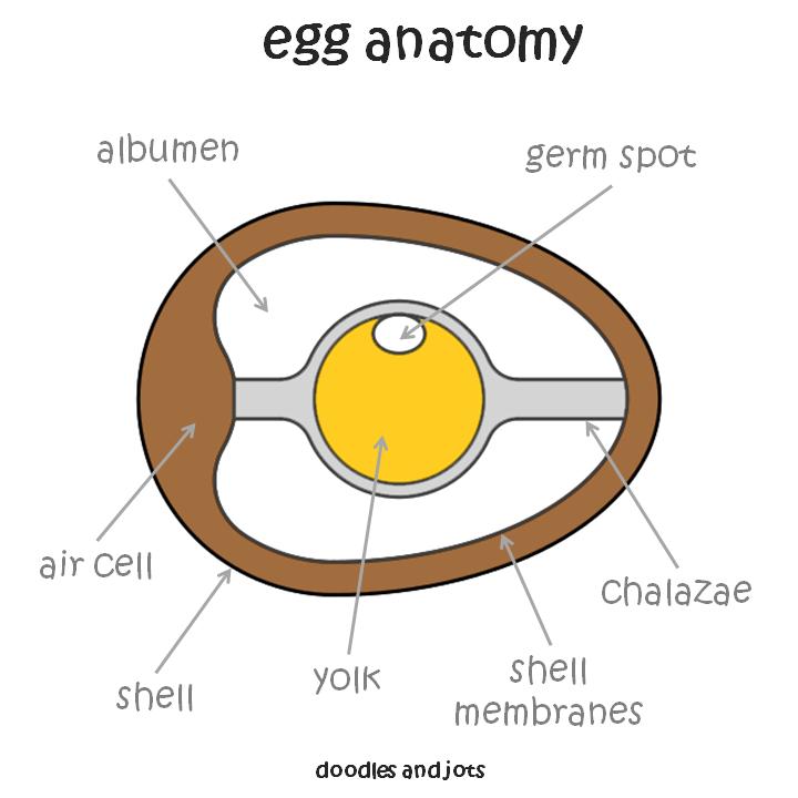 Egg Anatomy For Kids