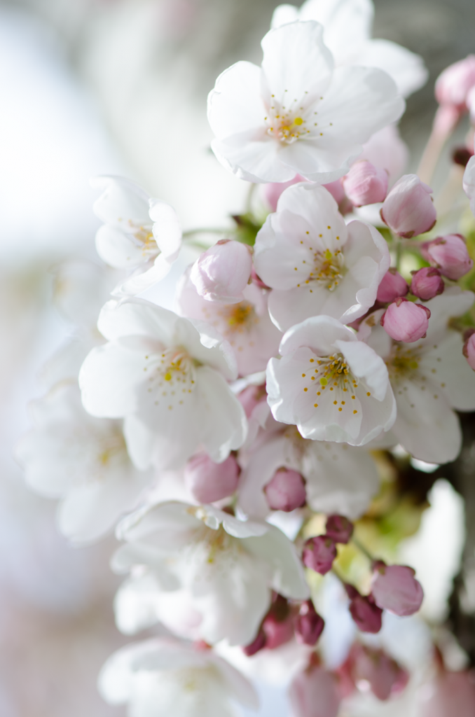Pin By T R Noble On Cherry Blossom Beautiful Nature Spring Beautiful Flowers Pretty Flowers
