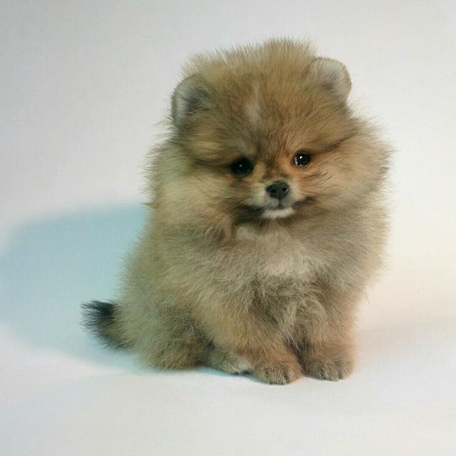 Pomeranian Puppies For Sale Get Pics And Price On Https Spitzpomeranian Co Uk Pug Puppies Pomeranian Puppy For Sale Pomeranian Puppy