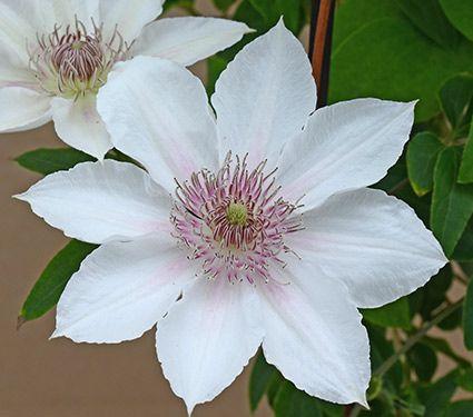 Clematis corinne boulevard clematis white flower farm and clematis corinne boulevard mightylinksfo