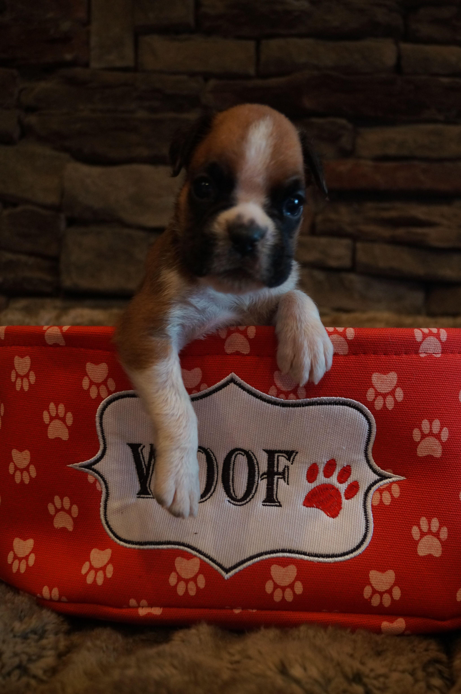 Big mac boxer puppy puppies boxer
