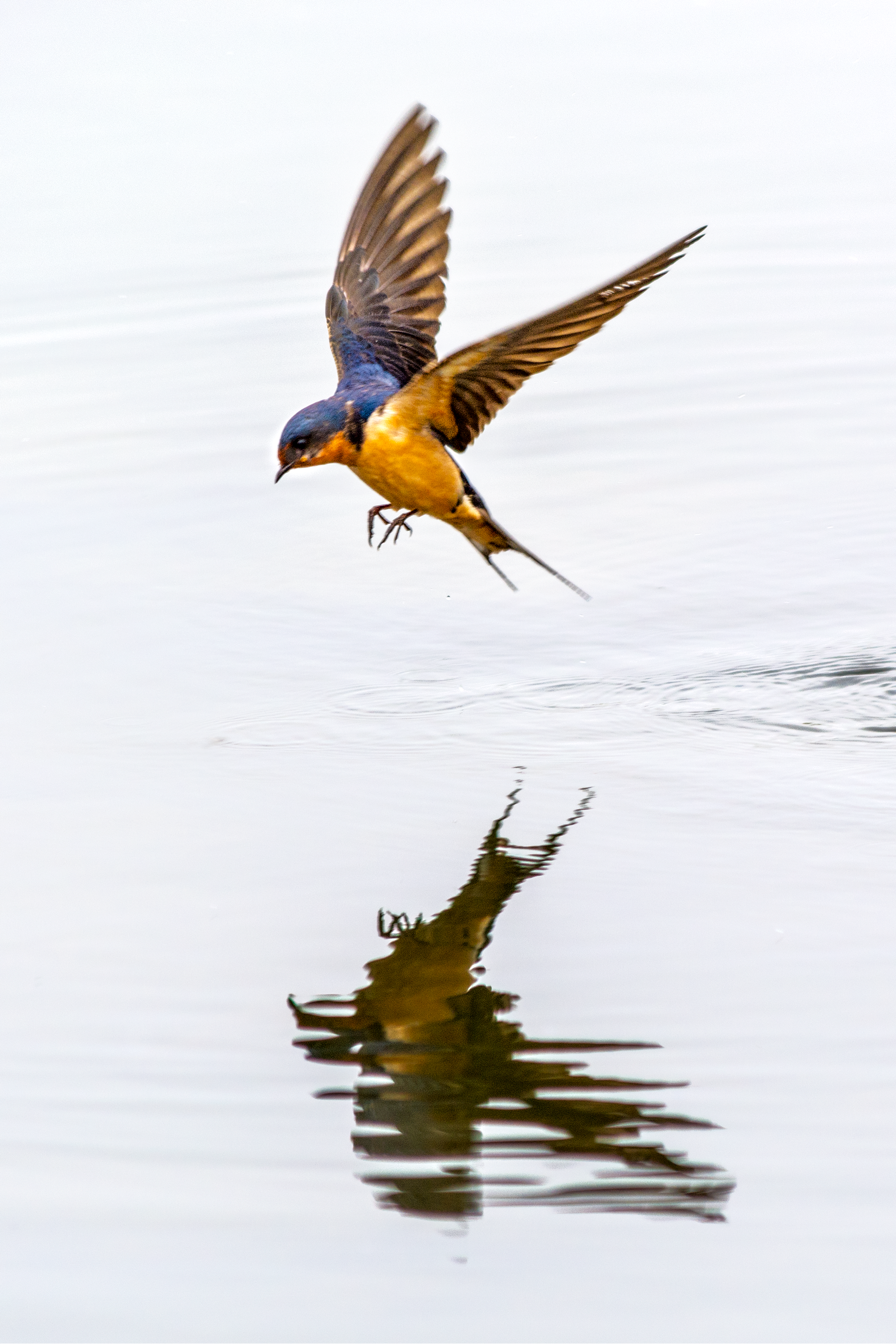 a barn swallow flying over the lake at prospect park in wheat ridge