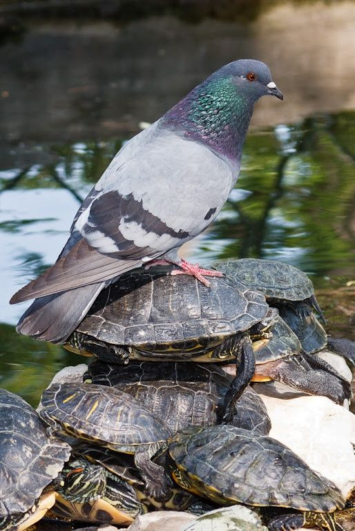Pigeon and turtles
