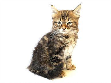 Hypoallergenic Cats Siberian Cat Breeders Kittens Litter C Siberian Cat Cat Breeder Siberian Cat Breeders